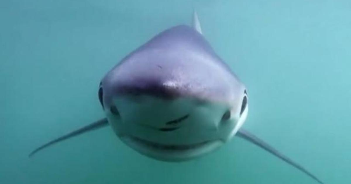 Climate change may be driving sharks to northern shores