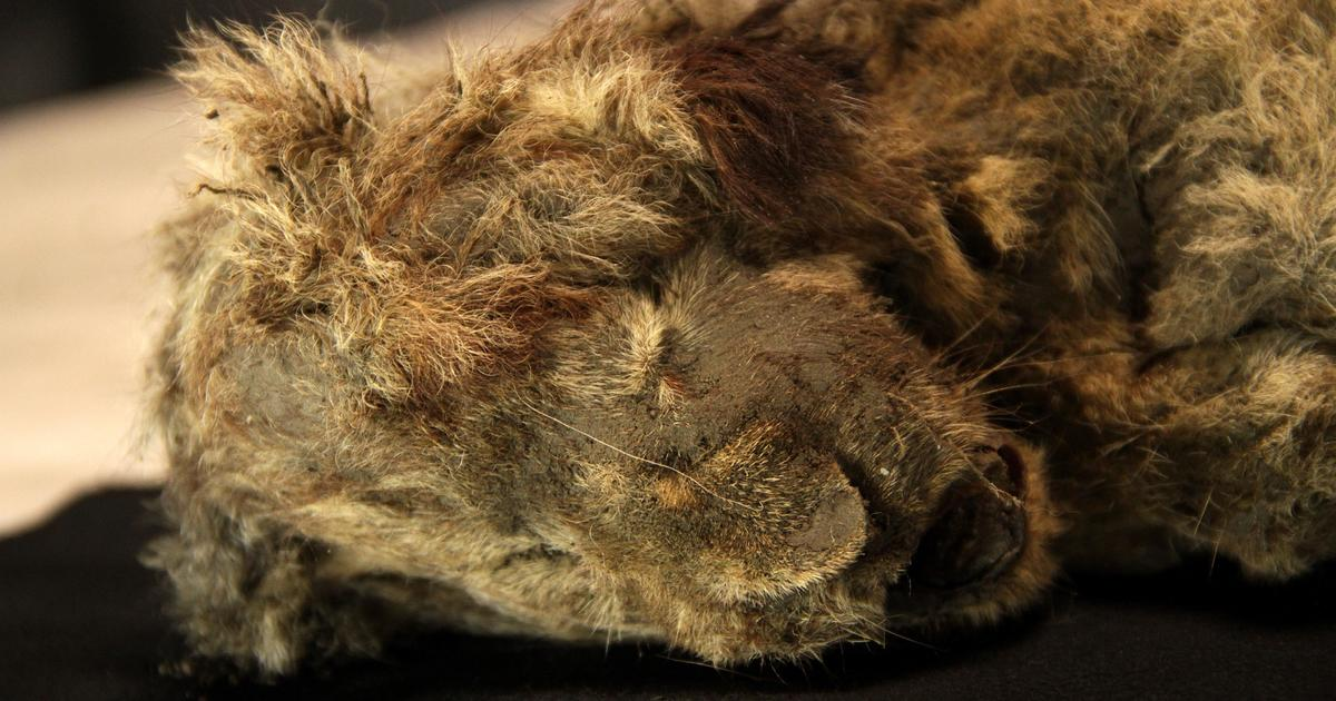 Two of the most well-preserved Ice Age lion cubs discovered in Siberian permafrost