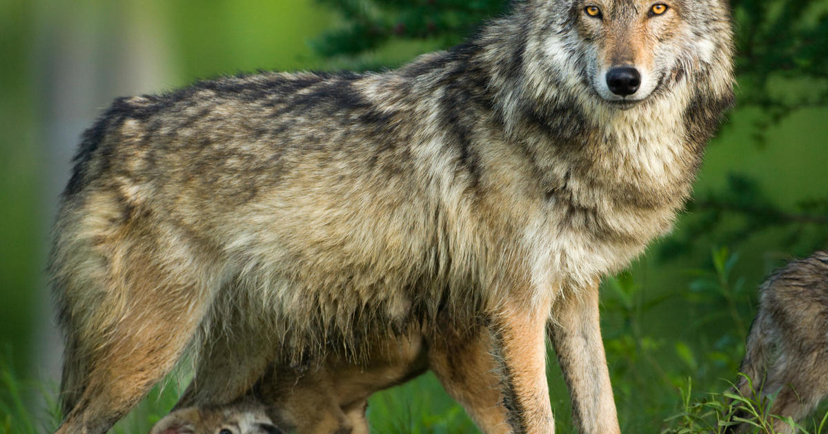 Biden administration backs end to gray wolf hunting protections, despite concerns from activists