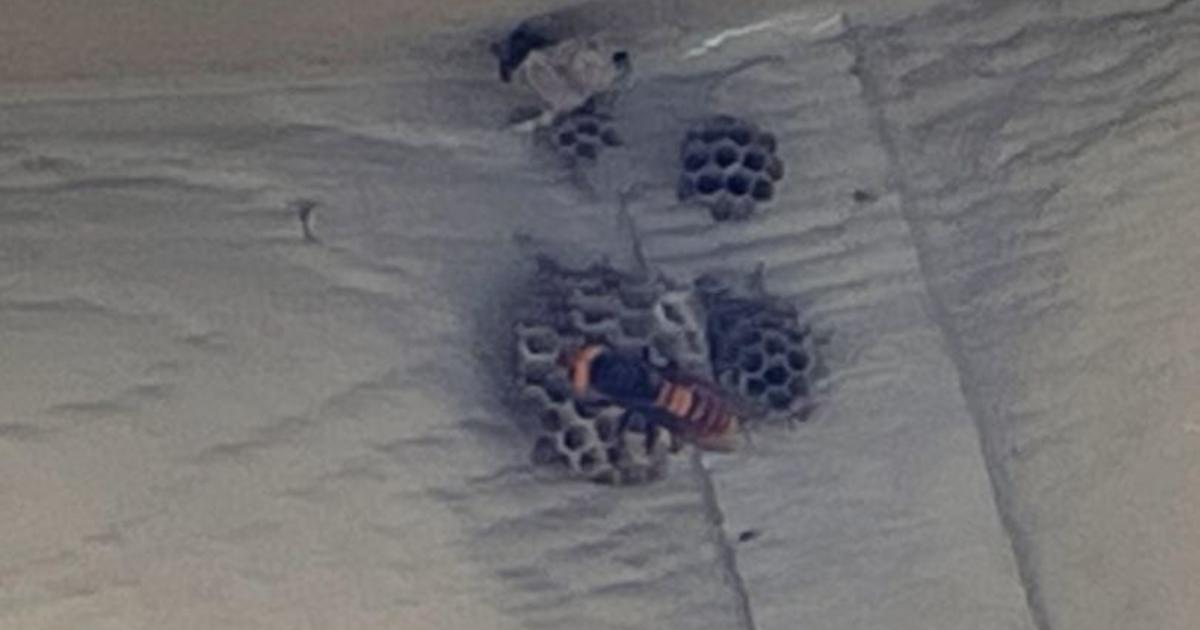 """First live """"murder hornet"""" of 2021 spotted in Washington state"""