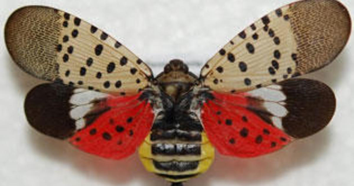 Lanternfly warning: If you see this beautiful spotted insect flying across the U.S., officials want you to kill it